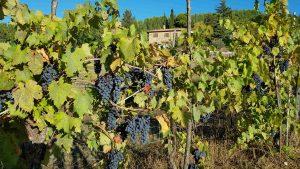 onze druiven